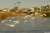 Snowy Egrets 11
