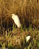 Snowy Egrets 12