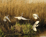 Great Egret with Snowy Egrets  2