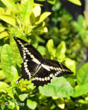 Giant Swallowtail Butterfly  1