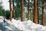 First sequoyas