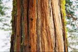 Sequoya trunk in California