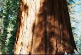 Bark of Sequoya in California