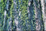 Pine Tree  in California