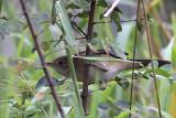 401 - Thick-billed Warbler