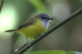 405 - Yellow-bellied Warbler