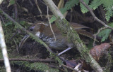 408 - Large Scimitar Babbler