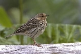 409 - Red-throated Pipit