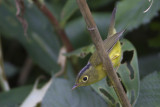 406 - Omei Spectacled Warbler