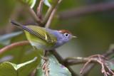 423 - Chestnut-crowned Warbler