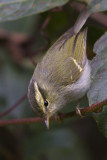 424 - White-tailed Leaf Warbler