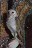430 - Barn Owl