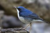 419 - Siberian Blue Robin