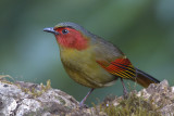 433 - Red-faced Liocichla