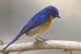 437 - Chinese Blue Flycatcher