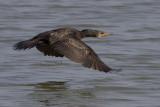 438 - Great Cormorant