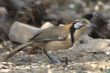 440 - Greater Necklaced Laughingthrush