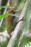 453 - Bamboo Woodpecker