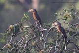 455 - Rusty-cheeked Hornbill