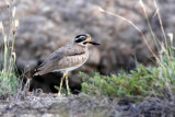 463 - Great Thick-knee