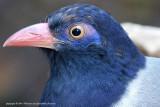 439 - Coral-billed Ground Cuckoo