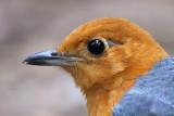 177 - Orange-headed Thrush