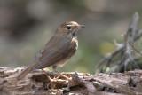467 - Rufous-tailed Robin