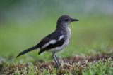 003 - Oriental Magpie Robin (juvenile)