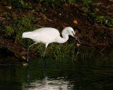 005 - Little Egret
