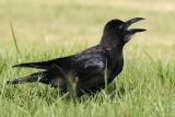 002 - Large-billed Crow