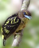 Banded Broadbill (juvenile)