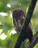 356 ::Asian Barred Owlet::