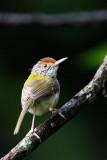 185 ::Common Tailorbird::