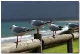 Australian Coastal Birds
