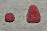 Les framboises du Nouveau-Brunswick varient boucoup en taille