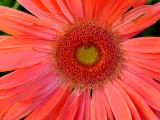 peachy daisy_posterized.jpg