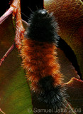 Wooly Bear Caterpillar