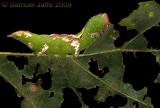 Heterocampa umbrata - White Blotched Prominent