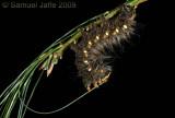 Eacles imperialis - Imperial Moth