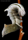 Notodonta scitipennis/torva - Finned Prominent