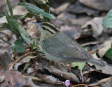 Worm-eating Warbler, San Francisco, February 2009