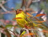 Mangrove Yellow Warbler