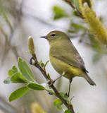 Orange-crowned Warbler (lutescens)