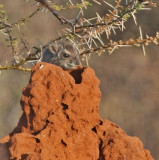 Yellow-spotted Rock Hyrax