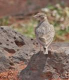 Fischer's Sparrow-Lark