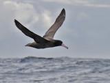 Short-tailed Albatross, Bodega Bay pelagic, November 2010