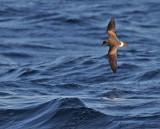 Band-rumped Storm-Petrels, BBC pelagic trip, August 2010