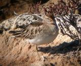 Sharp-tailed Sandpiper, Alviso, December 2005
