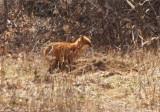 Red Fox 2009