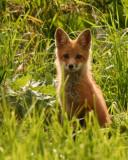 red_fox_2010